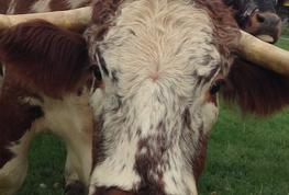 English Longhorn Cattle