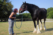 We Welcomes Rhona, Our New Shire Horse