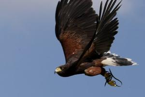 Ellie - Harris Hawk (Parabuteo unicinctus)