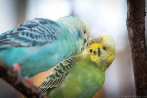 Budgerigars like to preen their feathers together and get up close