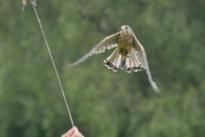 Bramble - Common Kestrel (Falco tinnunculus)