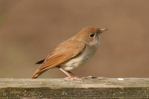 Nightingales in Kent make up more than 15% of the UK population of nightingales.