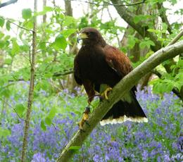 Fly a Harris' Hawk
